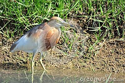 Pájaro en la naturaleza (garza china de la charca)