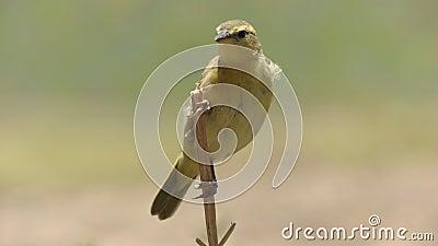 Pájaro femenino del tejedor del taveta encaramado en un tronco en la colina de la observación en parque nacional del amboseli almacen de metraje de vídeo
