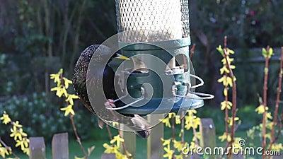Pássaro de alimentação do alimentador do estorninho video estoque