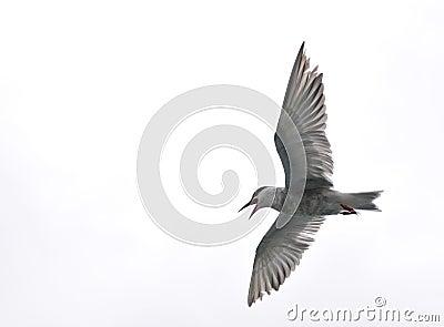 Pássaro de vôo - lago Naivasha (Kenya - África)