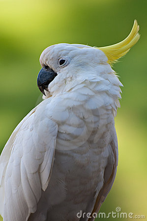 Pássaro do Cacatua no foco