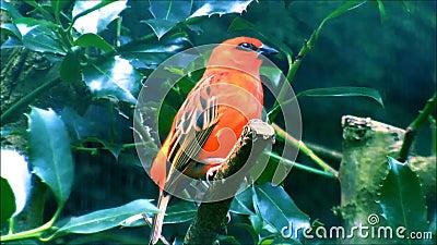 Pássaro tropical vermelho video estoque