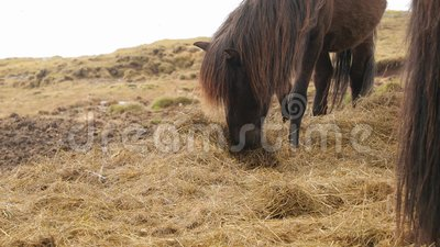 Pâturage de chevaux islandais banque de vidéos