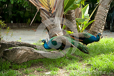 Påfågeln parar