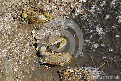 Pêche atlantique de crabes bleus
