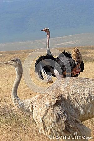 Paar van struisvogels