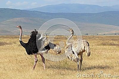 Paar van struisvogels het kweken