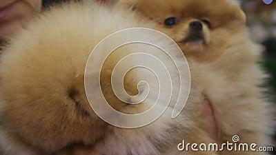 Paar von entzückendem Pomeranian verfolgt Hunde- Show herum neugierig betrachten stock footage