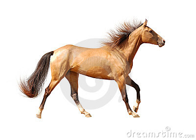 Paard Akhal -akhal-teke dat op wit wordt geïsoleerd