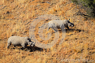 Paare des weißen Nashorns