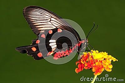 Pachliopta aristolochiae , butterfly on flower