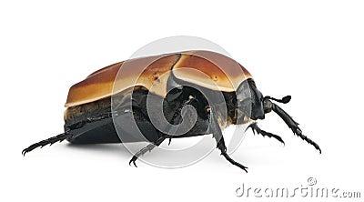 Pachnoda marginata, a species of beetle