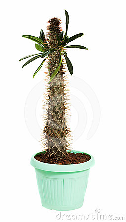 Pachypodium cactus in  pot. Isolated on white