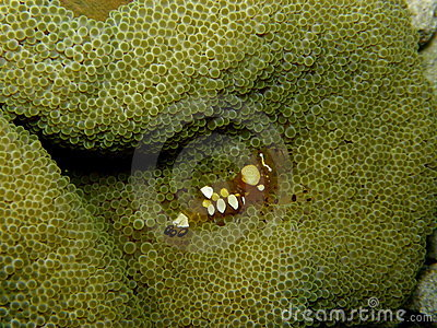 Pacific Carpet Anemone Popcorn Shrimp