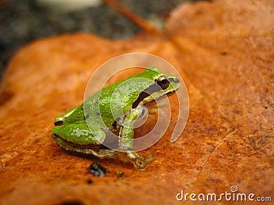 Pacific chorus frog (Pseudacris regilla)