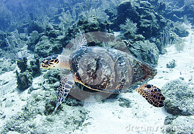 Pacific green turtle swimming great barrier reef, cairns,australia