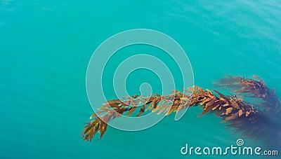 pacific ocean seaweed  Pacific Kelp