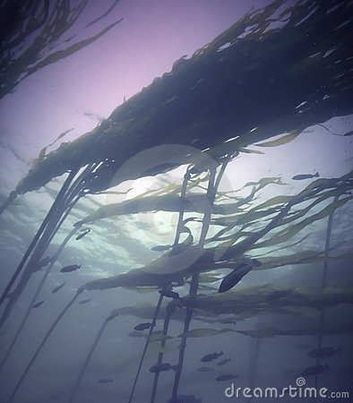 Pacific Kelp Forest