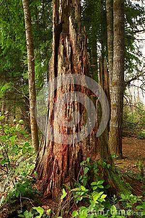 Free Pacific Northwest Forest And Felled Conifer Tree Stock Images - 102774524