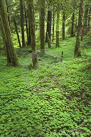 pacific northwest forest  blanket of clover covers