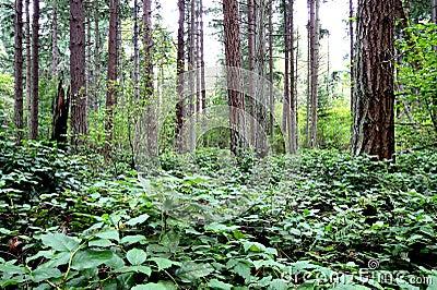 Pacific Northwest Forest Scene
