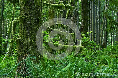 pacific northwest rainforest  Pacific Northwest Rainforest - Washington...