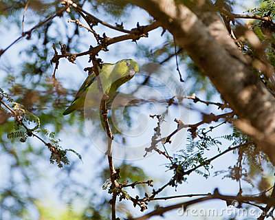 Pacific Parrotlet on twig