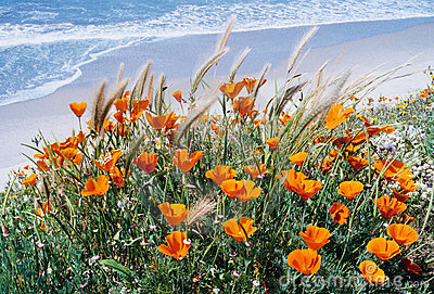Pacific Poppies