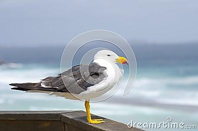 Pacific Sea Gull