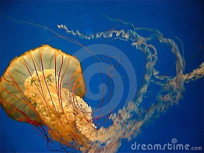 Pacific sea nettle (jellyfish) in motion