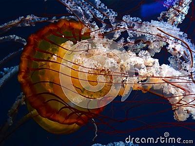 Pacific Sea Nettles