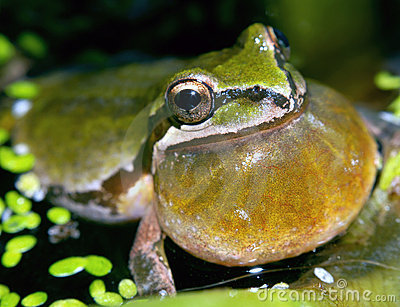Pacific Tree Frog Calling