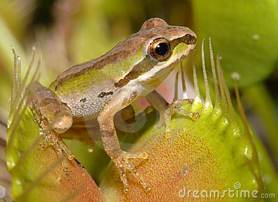Pacific Tree Frog in a Trap