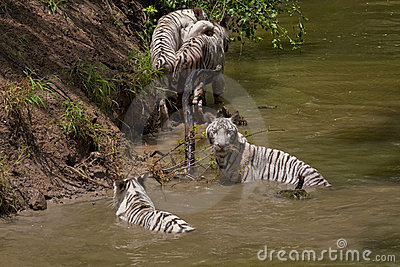 A Pack of 4 White Bengal Tigers playing in a River