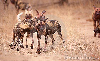 Pack of African Wild Dogs (Lycaon pictus)