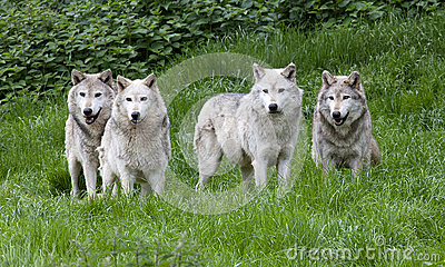 https://thumbs.dreamstime.com/x/pack-european-grey-wolves-playing-grass-31348779.jpg Gray