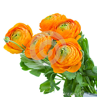 Free Pack Of Orange Ranunculus Flowers Stock Photos - 31464443