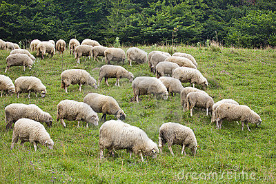 Pack of sheeps on the grass