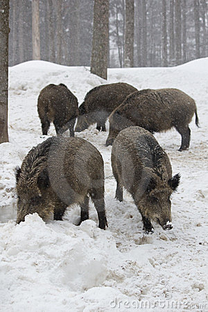 Pack of wild boars