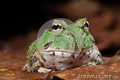 Pacman frog exotic pet animal