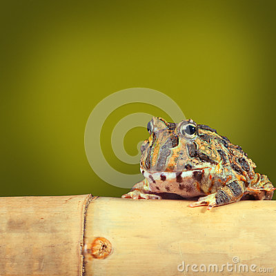 Pacman frog funny tropical toad