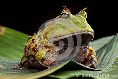 Pacman frog or horned toad