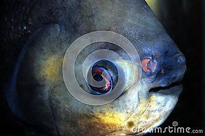 Pacu Closeup