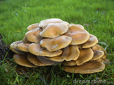 Paddestoelen Armillaria Ostoyae of honing-Paddestoelen
