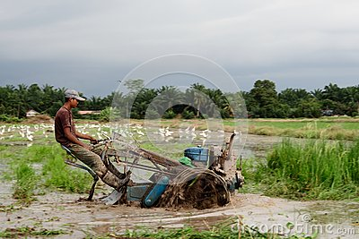 Paddy Field Editorial Stock Image