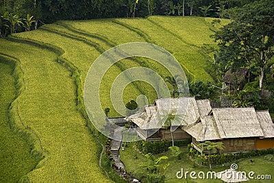 Paddy Field, Bali