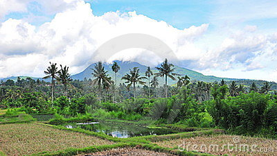 Paddy field in Bali
