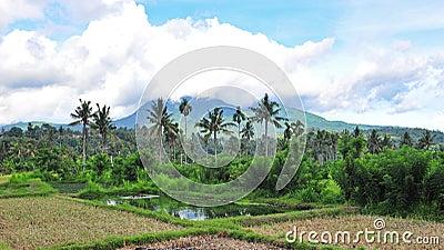 Paddy field in Bali