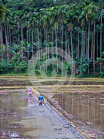 Paddy field with farmers