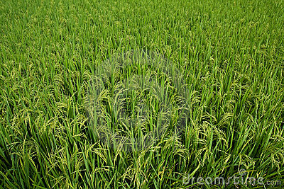 Paddy field with grain about to ripen
